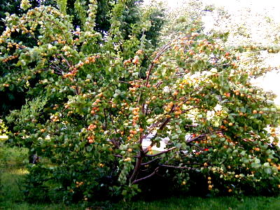 In promotion of Dwarf fruit trees Fruit%20coctail%20tree%20jun04