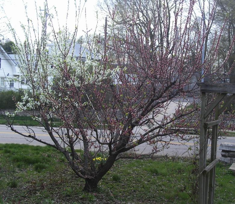 In promotion of Dwarf fruit trees 1bi%20color%20fruit%2010ab