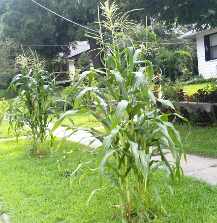 How to Garden Beautifully in a Small Space - homestead farmin' in the city Urban%20corna