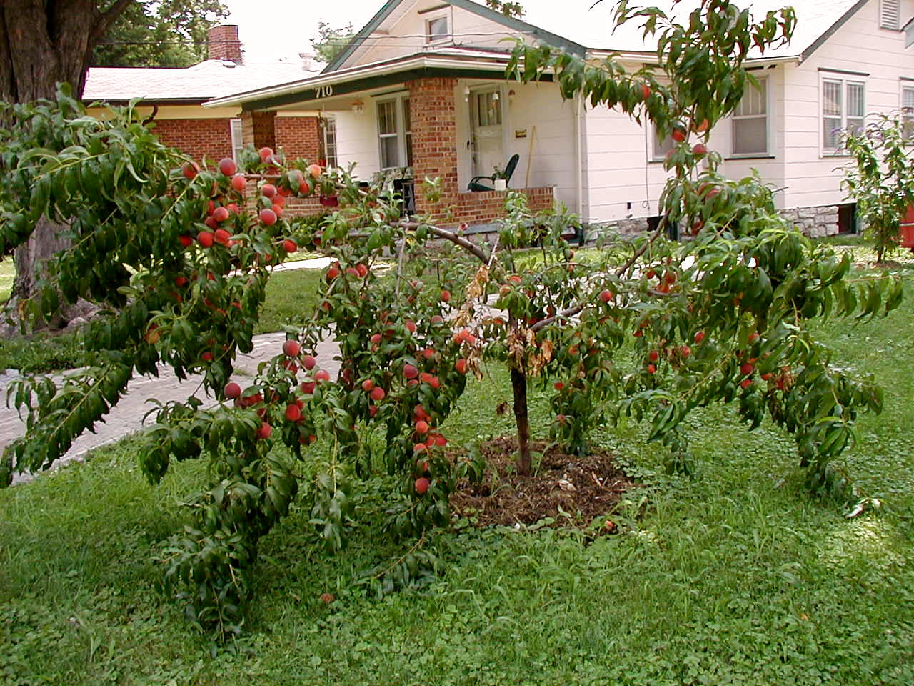 My first time buying trees and I need help. Poorpeach%20tree%2004